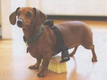 Naturalnews Com S Photo Funny Dachshund Dachshund Dog Animals