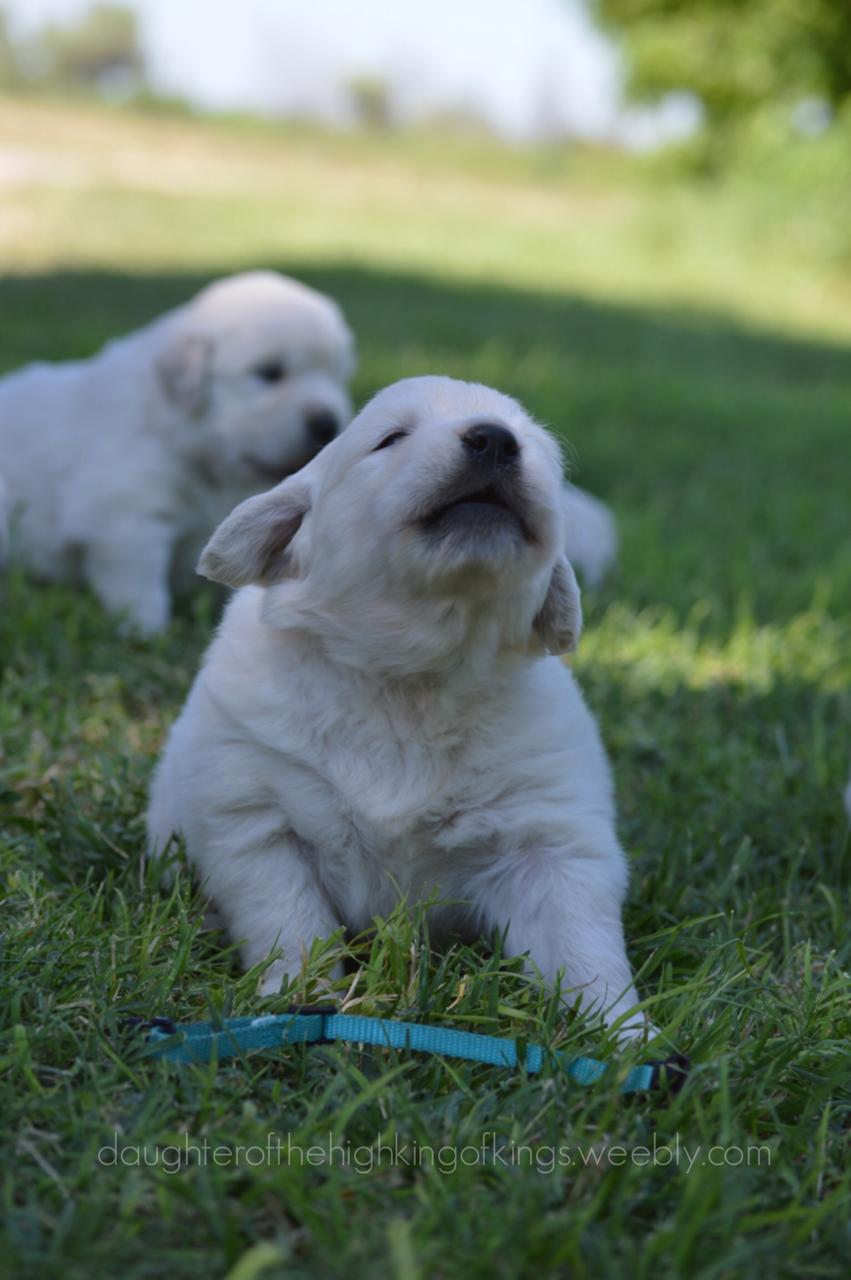 Prosh Puppeh POWER Dogs, Retriever puppy, Animals