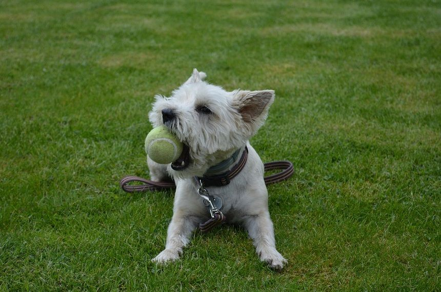 Cairn Terrier Breed History And Characteristics Little Dog