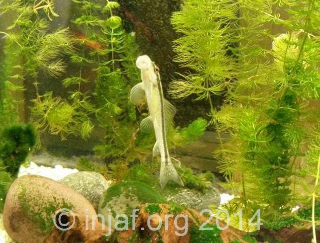 13 Best Algae Eaters For Your Aquarium Keep The Aquarium Clean Fish Tank Eater Algae