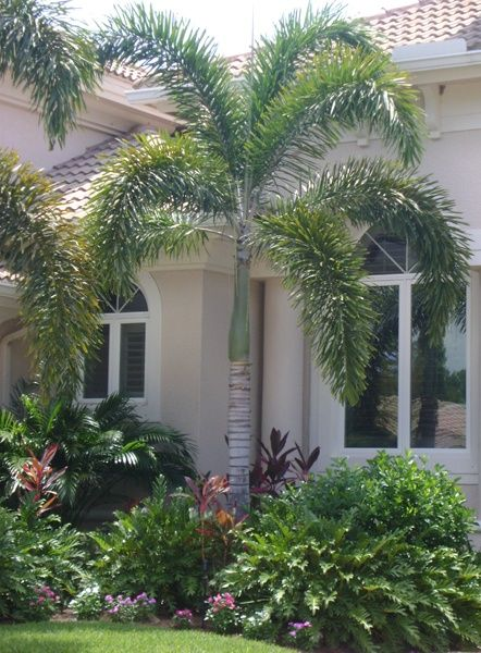 Fox tail palm foxtail palm typical florida landscaping for Typical landscaping plants
