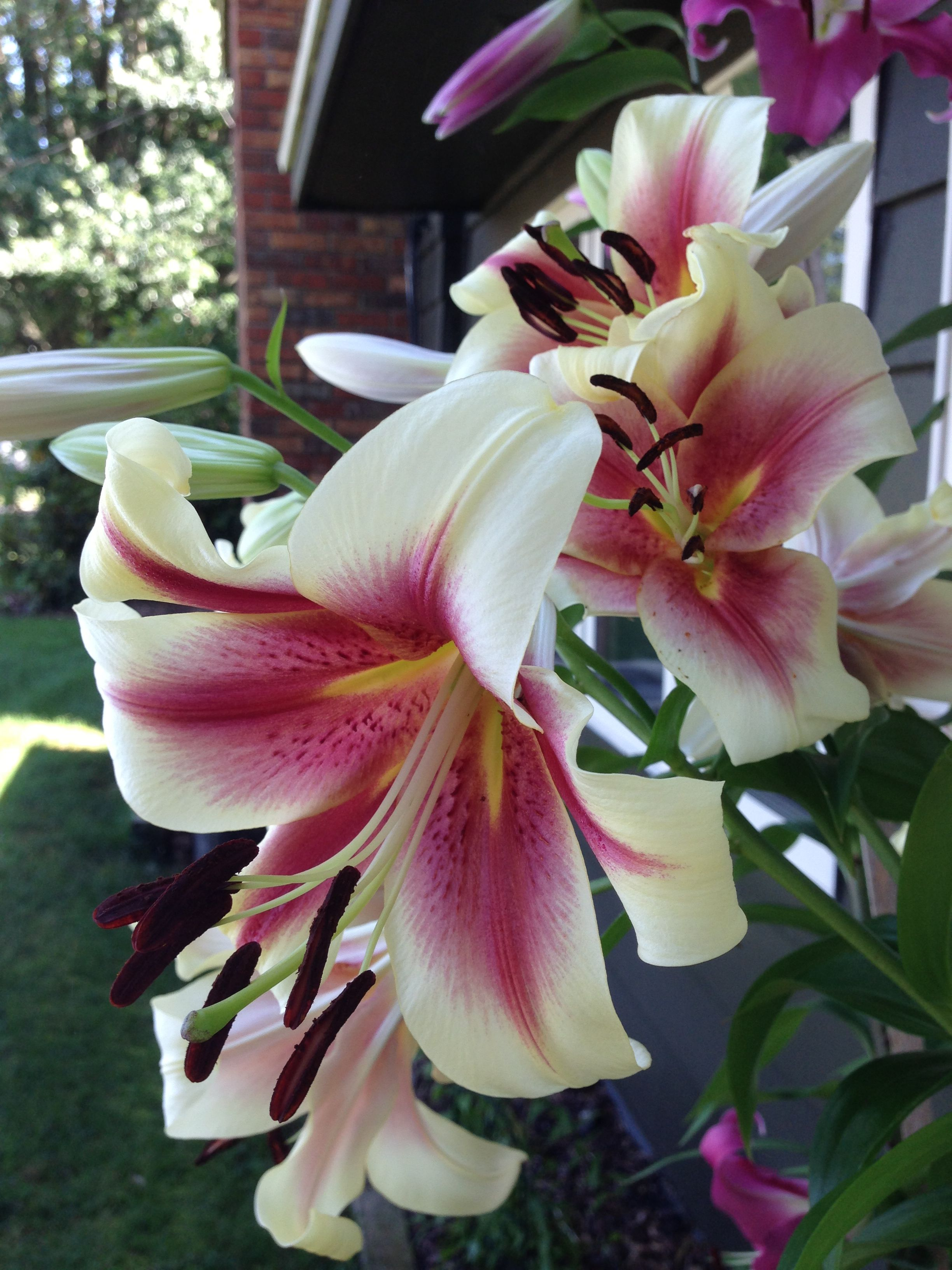 It's lily season again !  July is always full of these fragrant flowers!