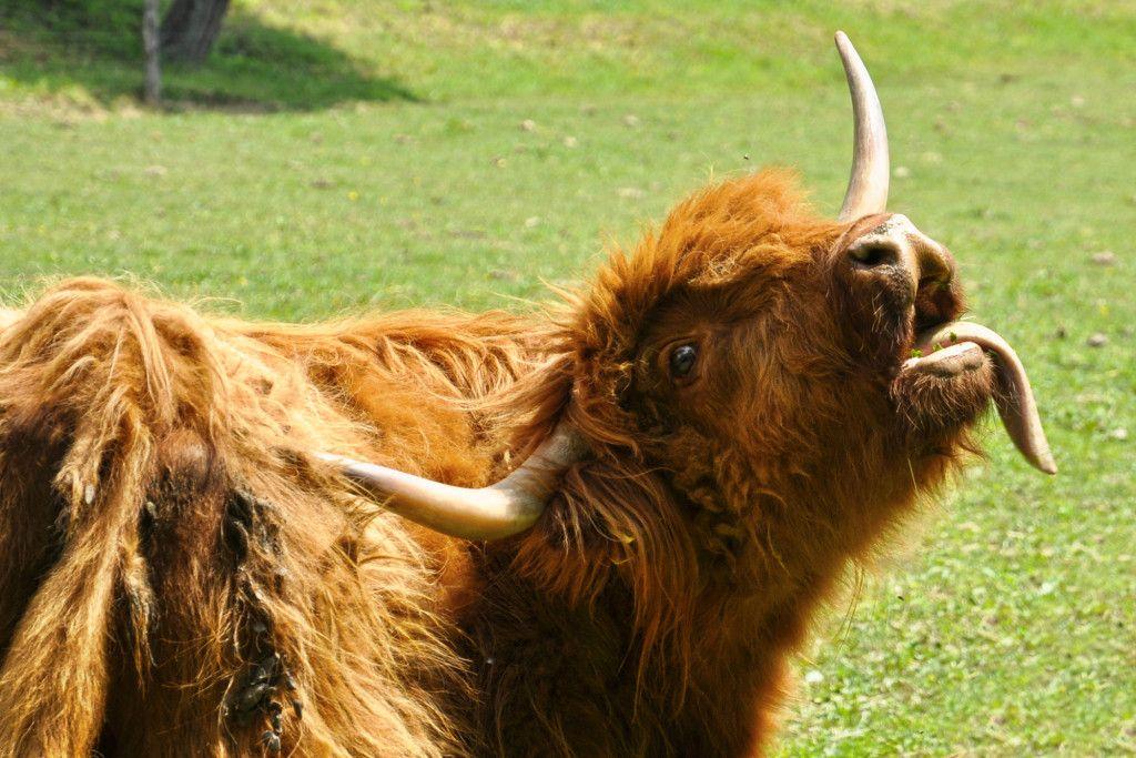 Highland cattle from Scotland | Highland cattle, Scottish ...