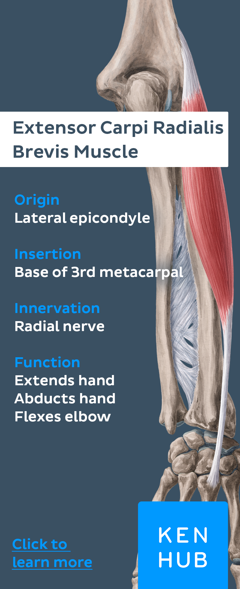 Radial Muscles Of The Forearm Anatomy Pinterest Muscle