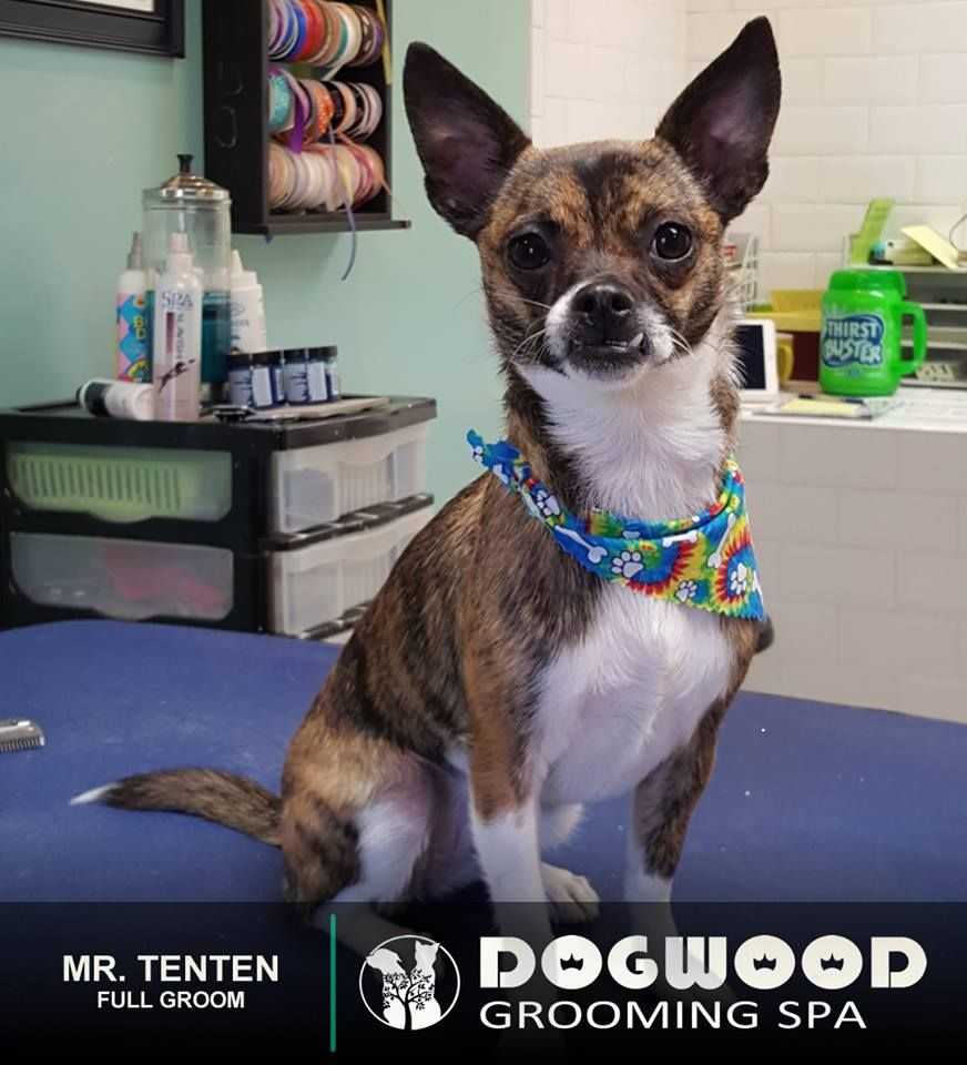 Mr Tenten Is In The House For A Full Groom Dogwood Grooming Spa Knoxville Visit Our Website Dogwoodgroomingspa C Pet Grooming Cat Groomer Pet Boarding