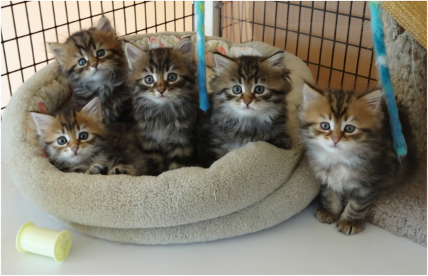 Available Kittens Siberian Cat Siberian Kittens Cute Cats