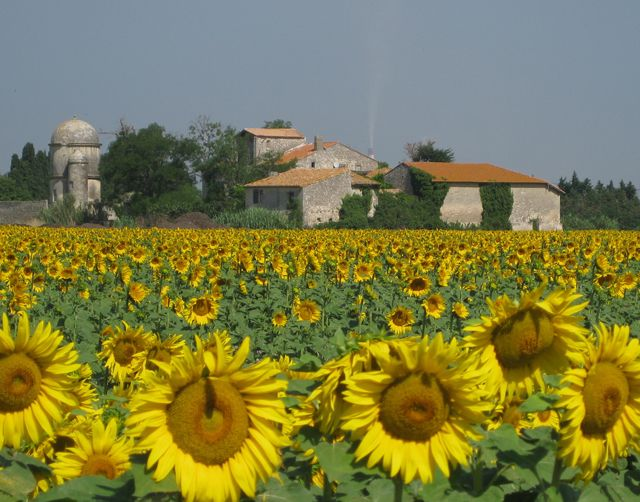France when the sunflowers are in bloom