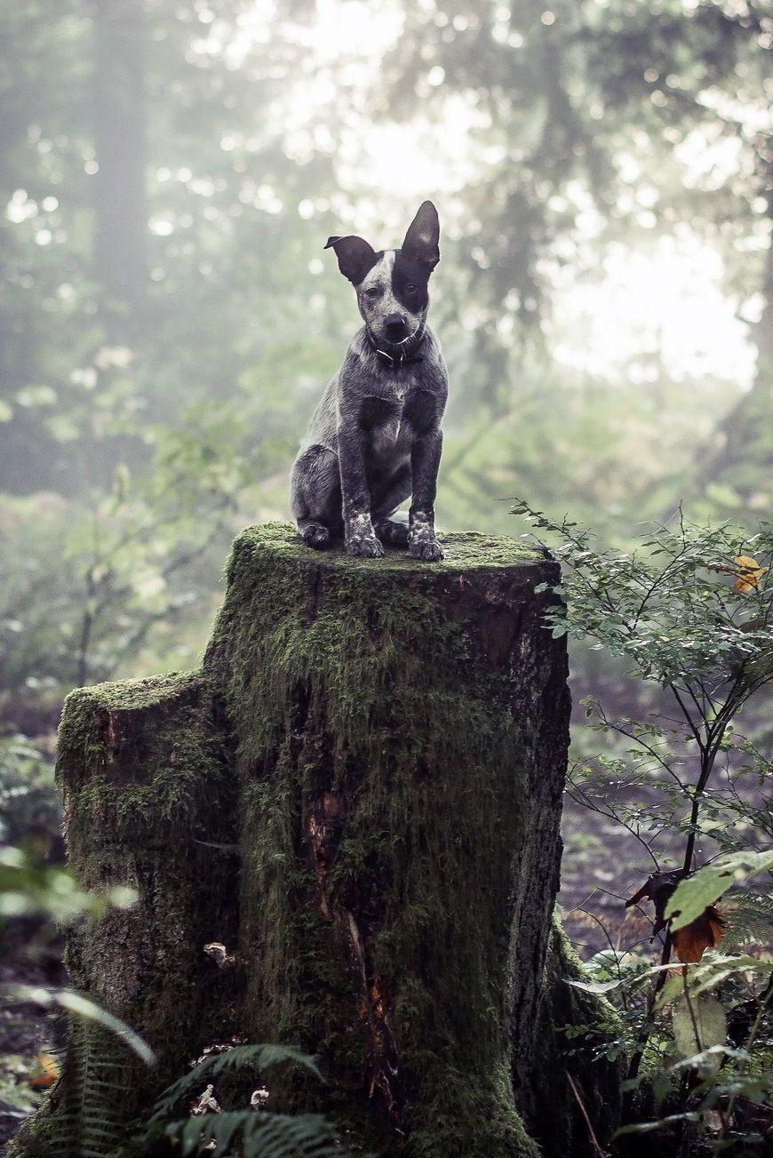 Throne Cattle dog, Dogs, Australian cattle dog