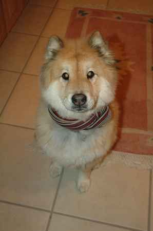 Chusky Chow Chow Husky Mix Dogs Puppy Face