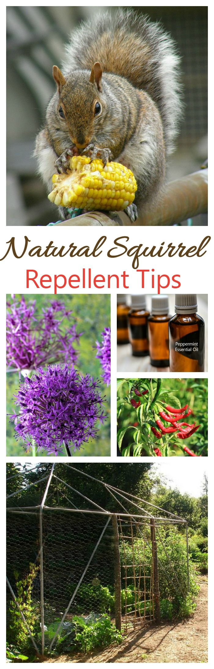 Natural Squirrel Repellent Ideas Keep Squirrels Out Of The Yard Squirrel Repellant Garden Pests Garden