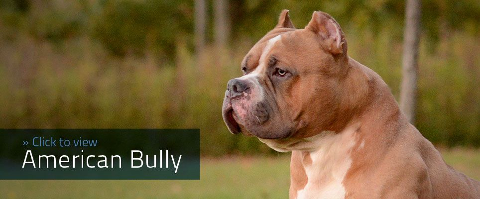 The American Bully Registry