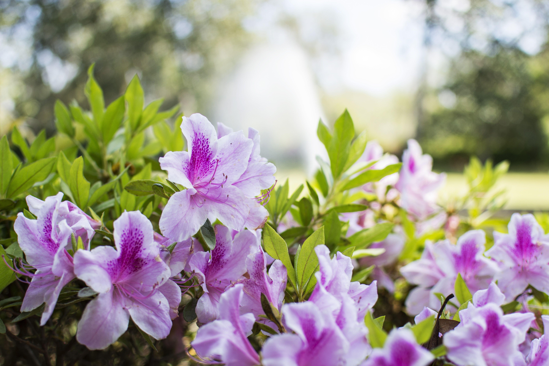 Middleton Place, Charleston SC, Azaleas in bloom