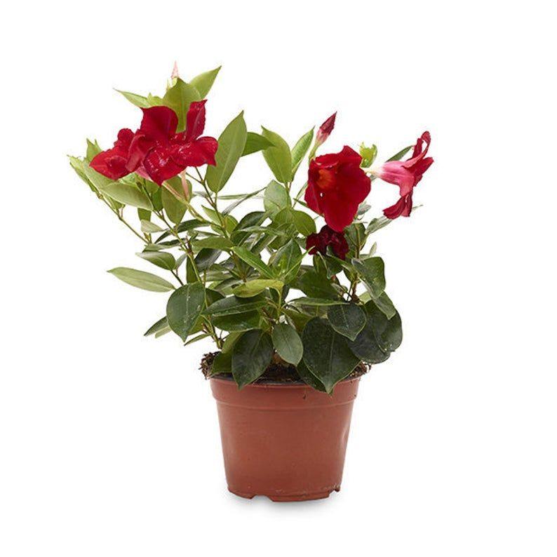 Dipladenia Mandevilla Live Plant 6 Pot | Etsy