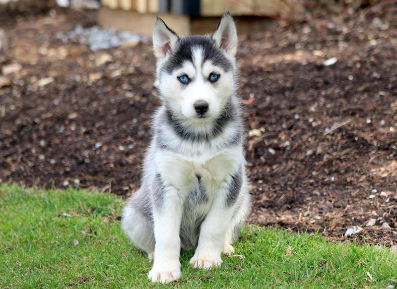 Siberian Husky Puppy For Sale In Mount Joy Pa Adn 67316 On
