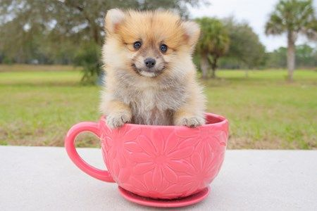 Find and adopt the perfect teacup Pomeranian puppy in