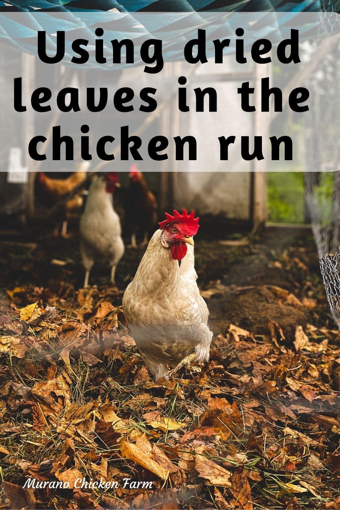 Using Fall Leaves In The Chicken Run Chicken Garden Chicken Coop Homestead Chickens