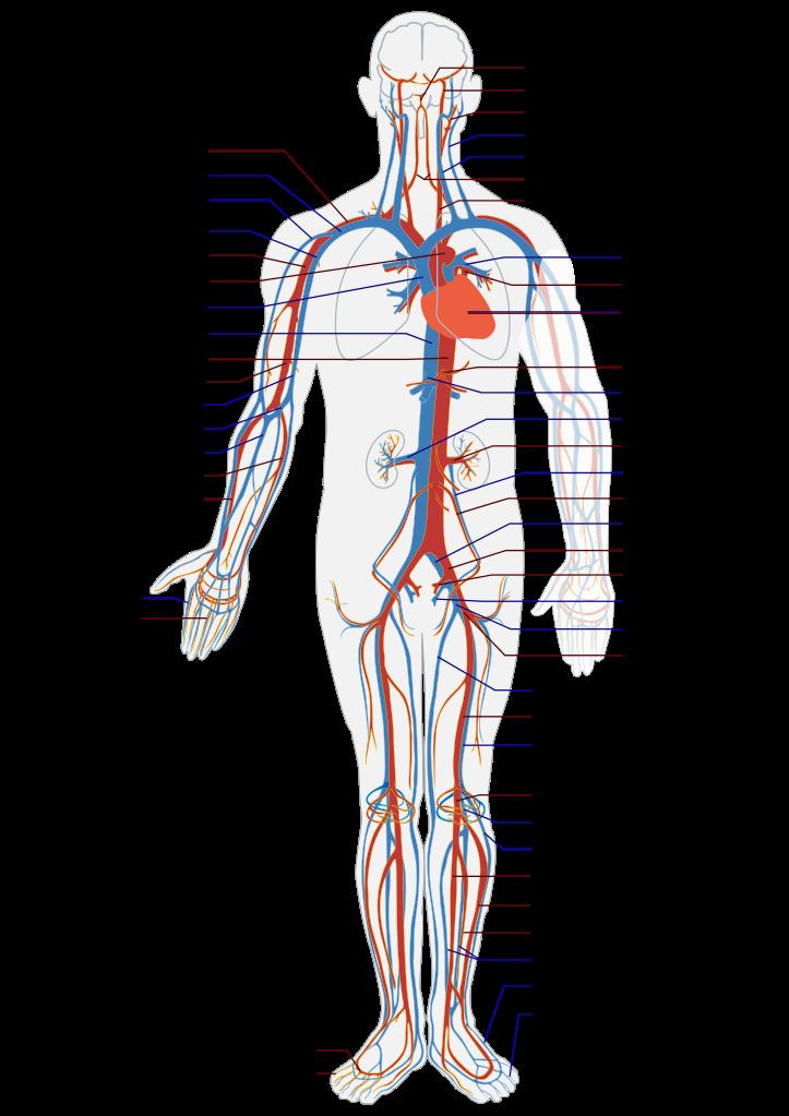 Großzügig Aderlass Anatomie Und Physiologie Fotos - Anatomie Ideen ...