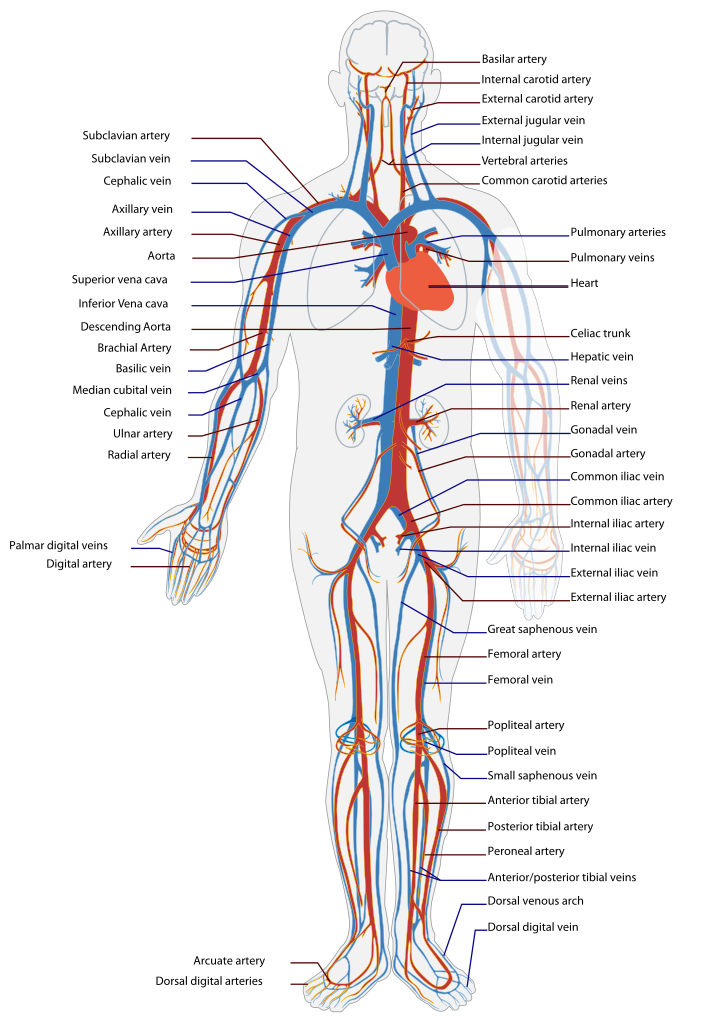 Pin de Lina Catalina Sandu en Anatomy And Physiology Study | Pinterest