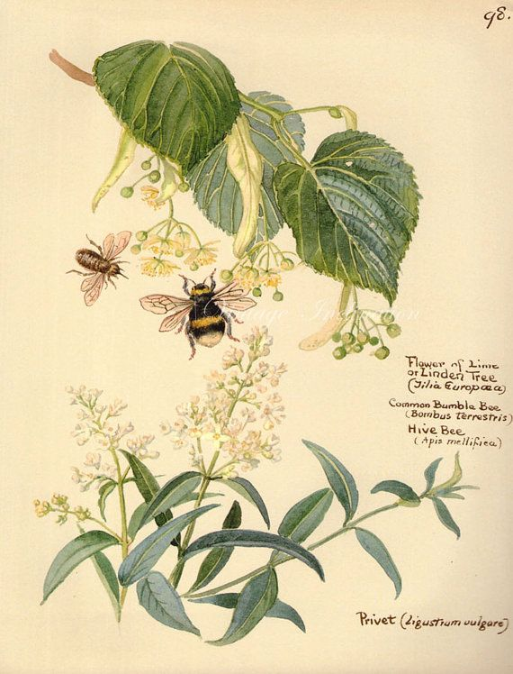 Antique Print, English Flowers bees bumble bee, Edwardian chart ...