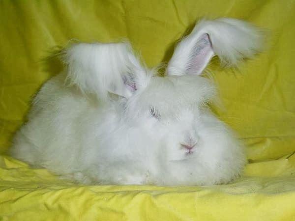 أغرب الأرانب الأرنب المنفوش صور لأرنب جميل ومميز أرانب أنقورا أرانب منفوشة متنوعة الأ Angora Bunny Pet Birds Giant Angora