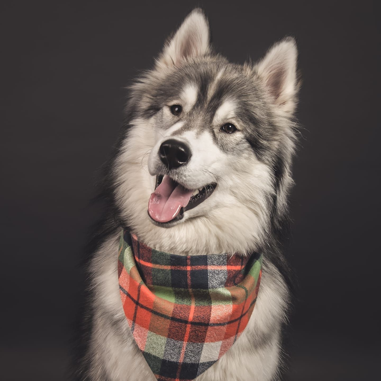 Fluffy guy Siberian Husky/Alaskan Malamute mix
