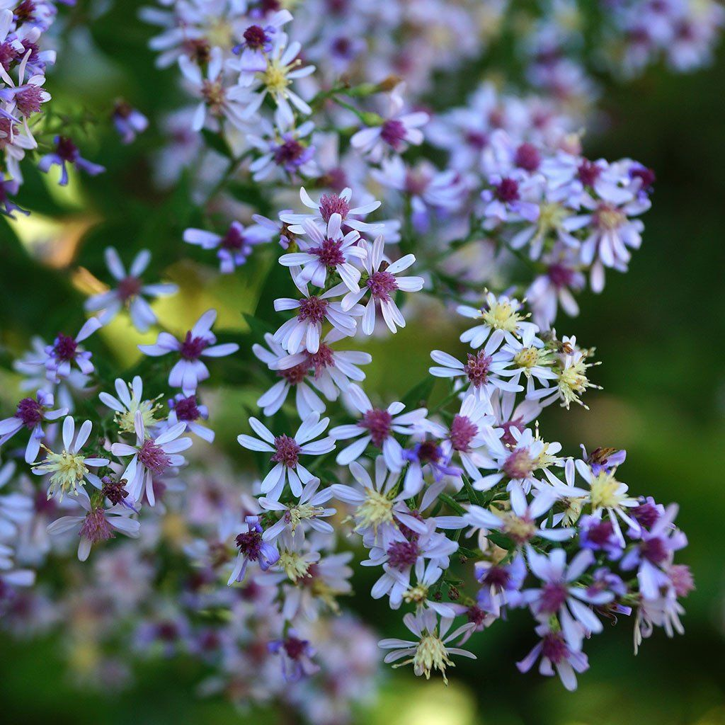 Blue Wood Aster Symphyotrichum Cordifolium A Fall Blooming Aster With Billowy Lavender Blue Daisy Like Flowers And He Blue Plants Woodland Plants Plant Sale