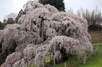 1000 Year Old Cherry Tree So The Blog Said Lovely No Matter What The Age Beautiful Places In Japan Scenic Photos 1000 Years