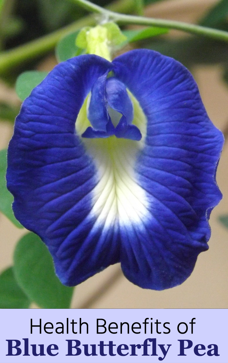 12 Health Benefits Of Blue Butterfly Pea How To Make Blue