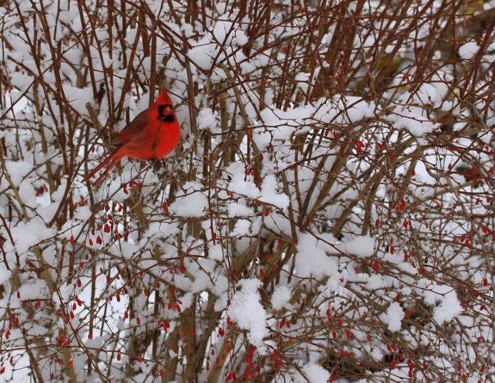 Cardenal en el jardín Botánico de Toronto