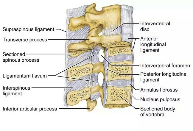 Ligaments Of The Spine Anatomy Pinterest Anatomy And Pta