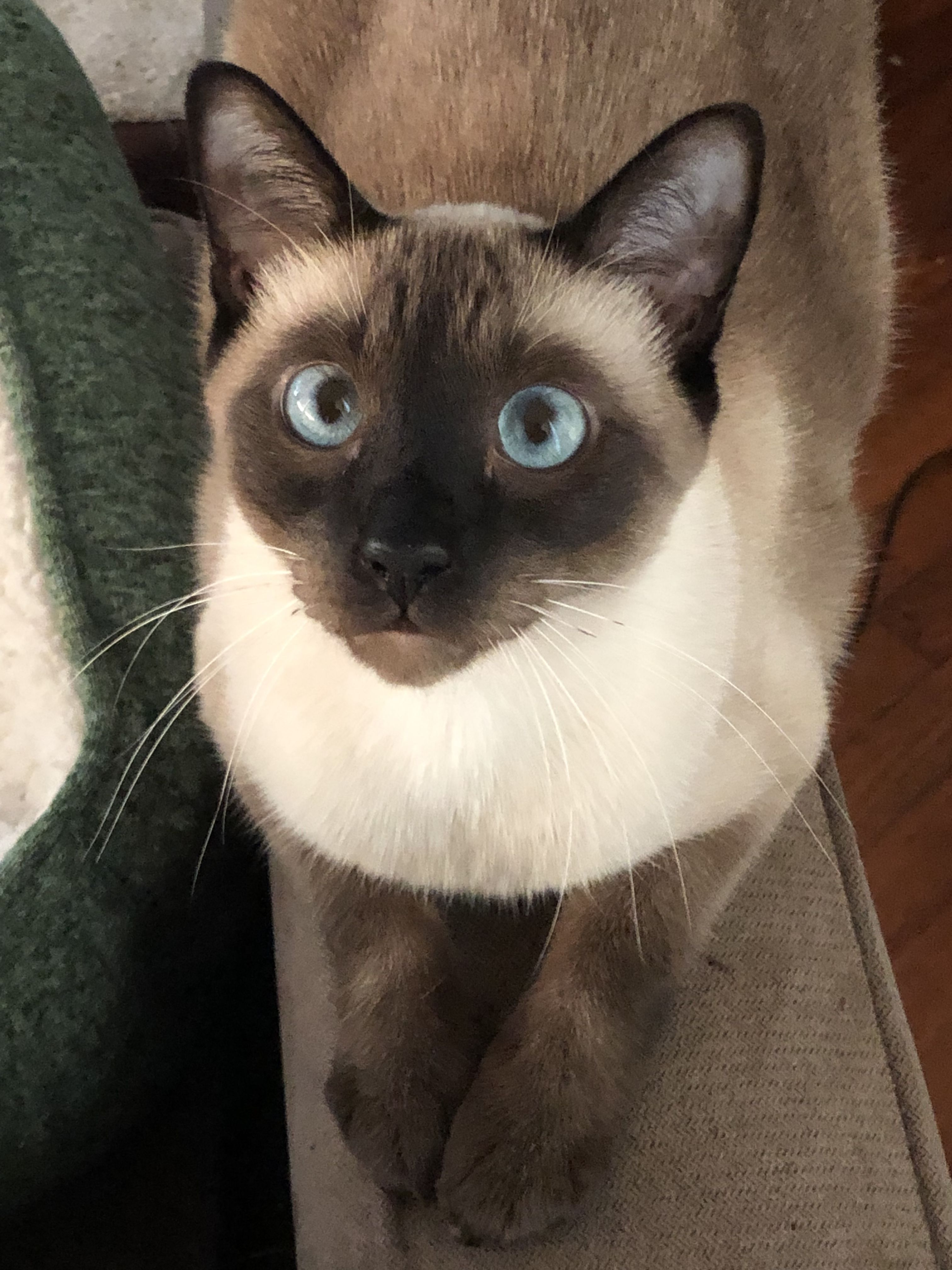 Dubizzle Dubai Cats Bettina The Beautiful Female Cat 1 Year Old Siamese Cats Blue Point Best Cat Breeds Siamese Cats Facts