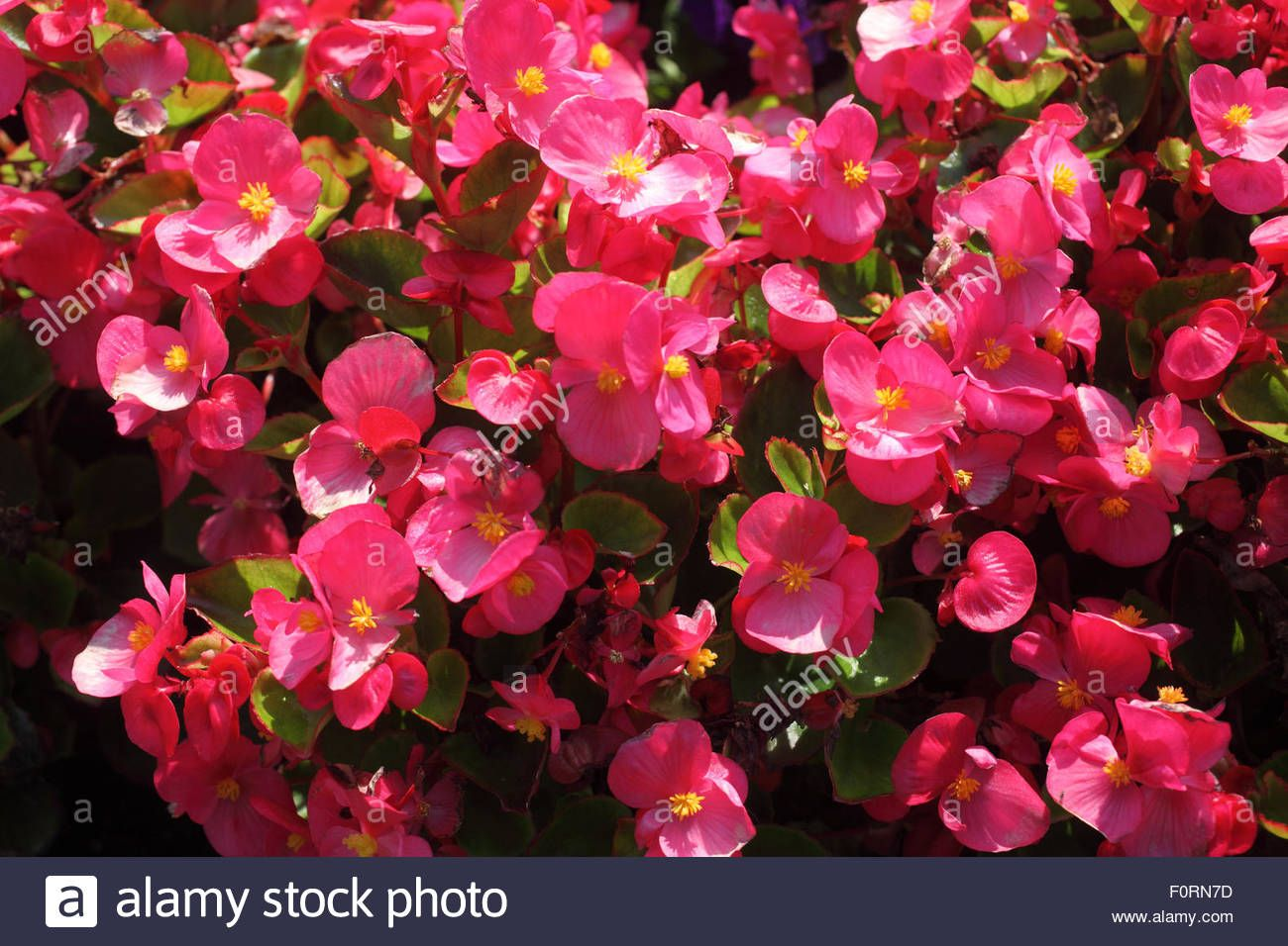 Stock Photo Begonia Bada Bing Rose Close Up Of Flower Begonia Flowers Stock Photos