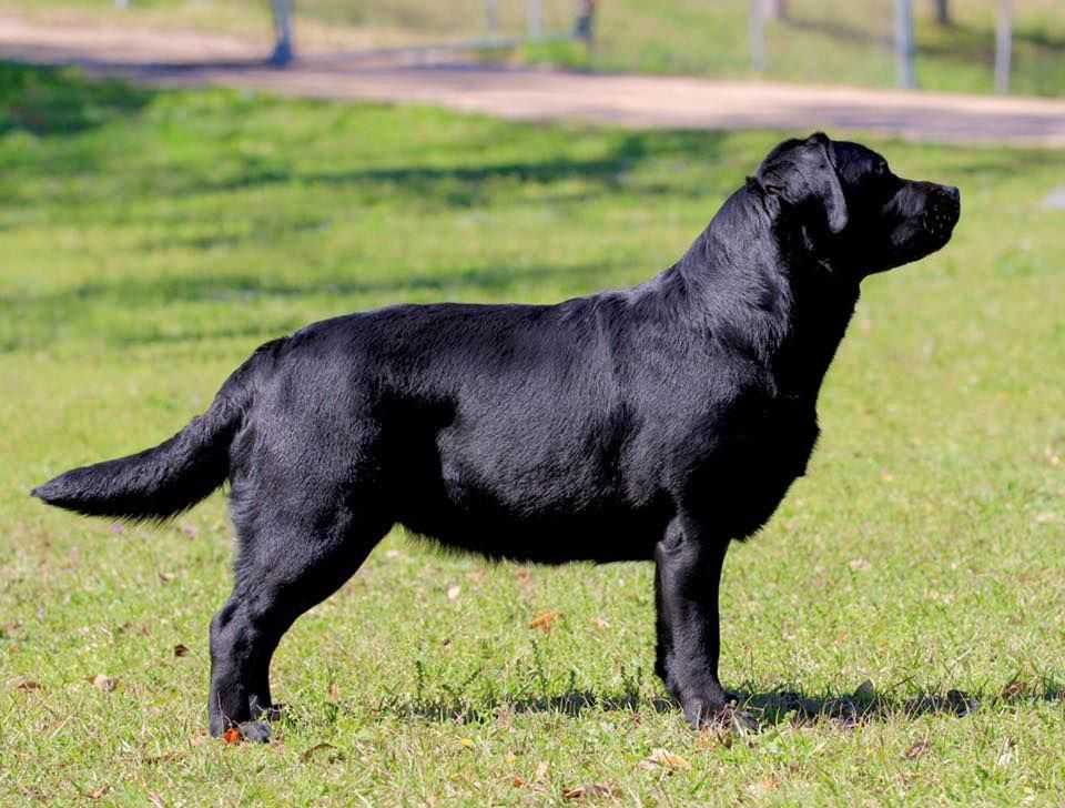 Horne S Labradors Contact Englishlabrador Labrador English
