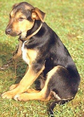 New Zealand Huntaway New Zealand Huntaway Dog Dogs Breed Dog