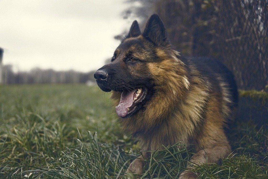 German Shepherd Vs Belgian Malinois 1 Germanshepherd Big German