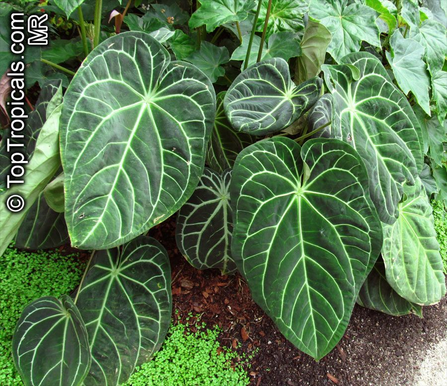 Https Toptropicals Com Catalog Uid Anthurium Crystallinum Htm Anthurium Plants Tropical Landscape Design