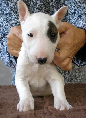 Puppies In Hungary Miniature Bull Terrier Miniature Bull Terrier Puppies Bull Terrier Puppy