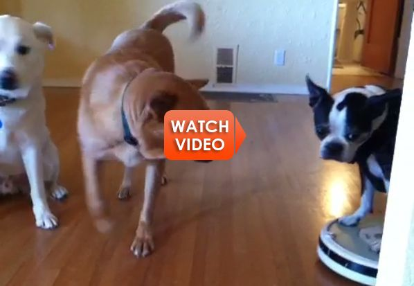 Ridin Dirty Funny Meme : This boston terrier ridin dirty on a roomba is too funny can t