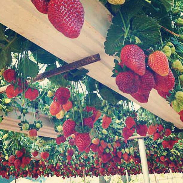 Recycled Rain Gutters Used To Grow Berries Growing Strawberries Gutter Garden Growing Food
