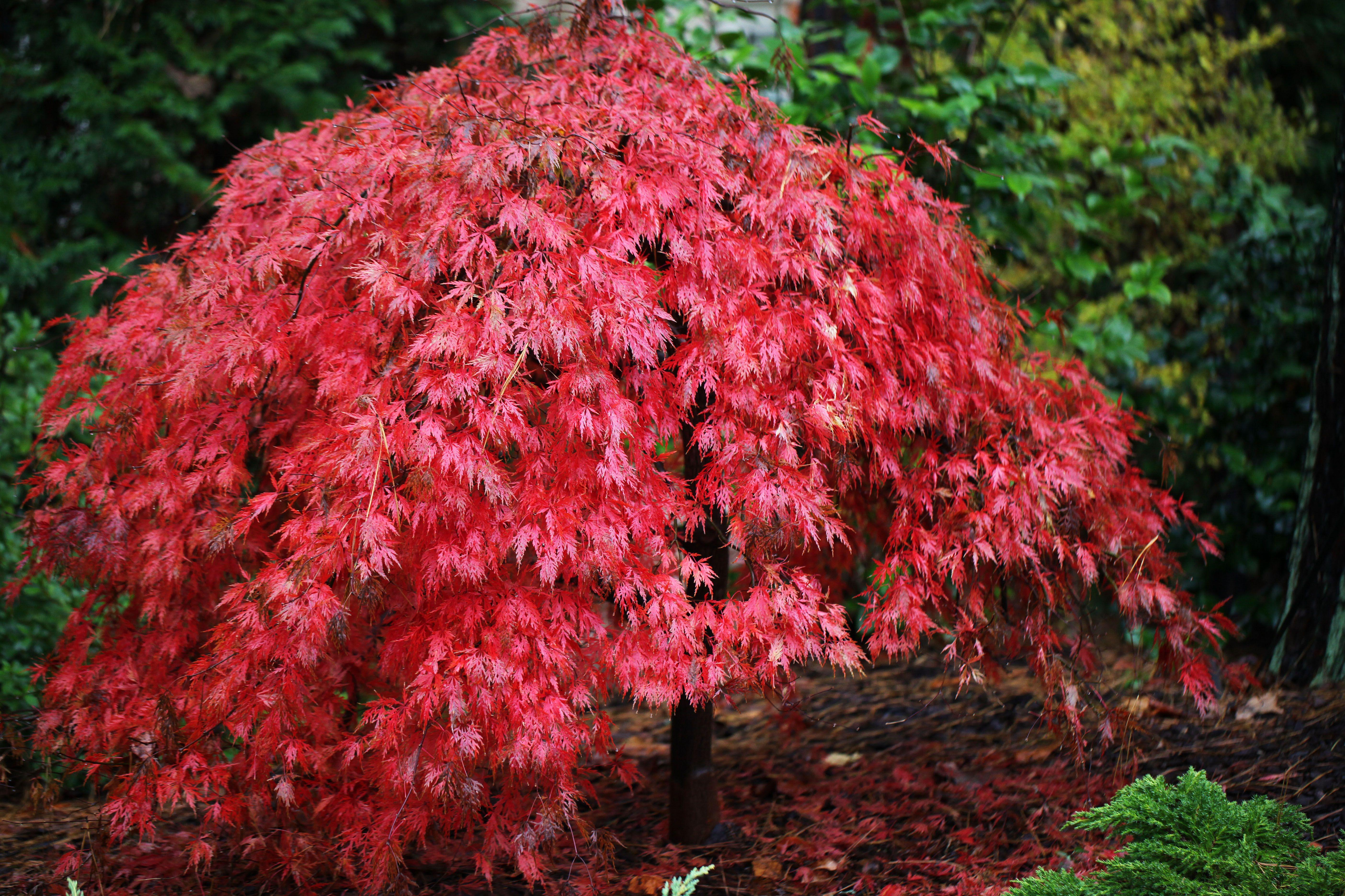 Acer Palmatum Orangeola Dissectum Group 8 Height 7 Spread