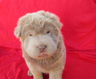 Lilac Bear Coat Shar Pei Bear Coat Shar Pei