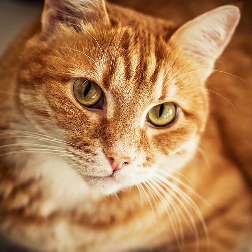 As Anyone Who Has Been Around A Cat For Any Length Time Knows Cats Have Enormous Patience With The Limitations Of Orange Tabby Cats Tabby Cat Names Tabby Cat