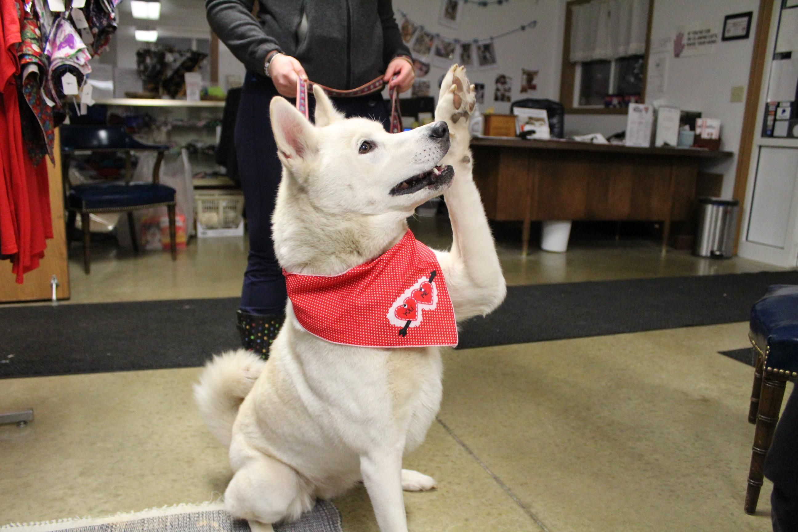 Meet DIAMOND, an adoptable Siberian Husky looking for a forever home. If you're looking for a new pet to adopt or want information on how to get involved with adoptable pets, Petfinder.com is a great resource.