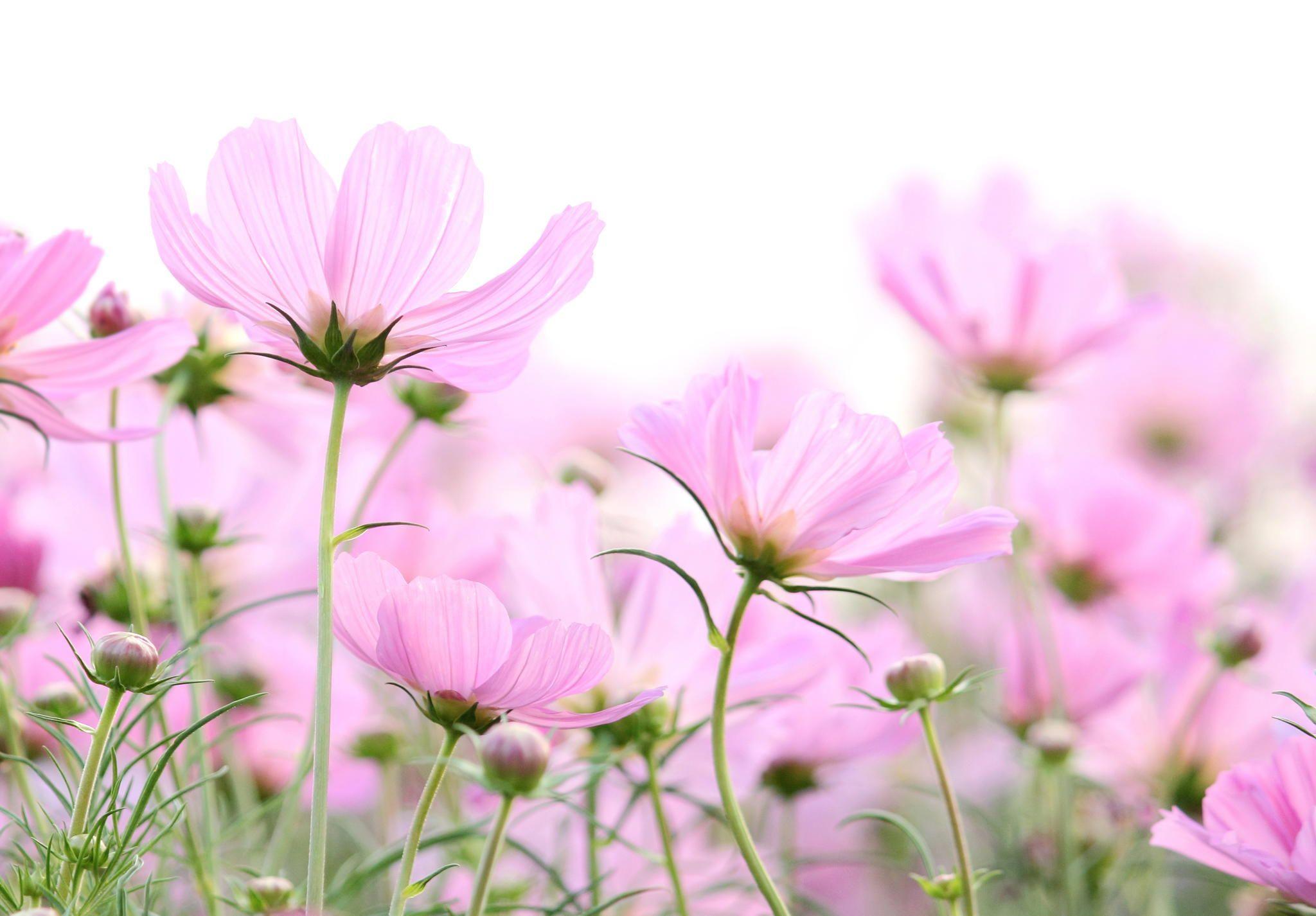 Cosmos Flowers Isolated On White By Natthawut Punyosaeng On 500px