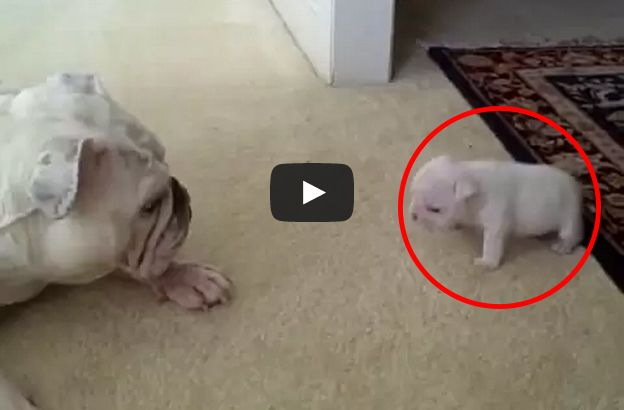 This Bulldog Puppy Was Cute And Cuddly And Then It S Hard To