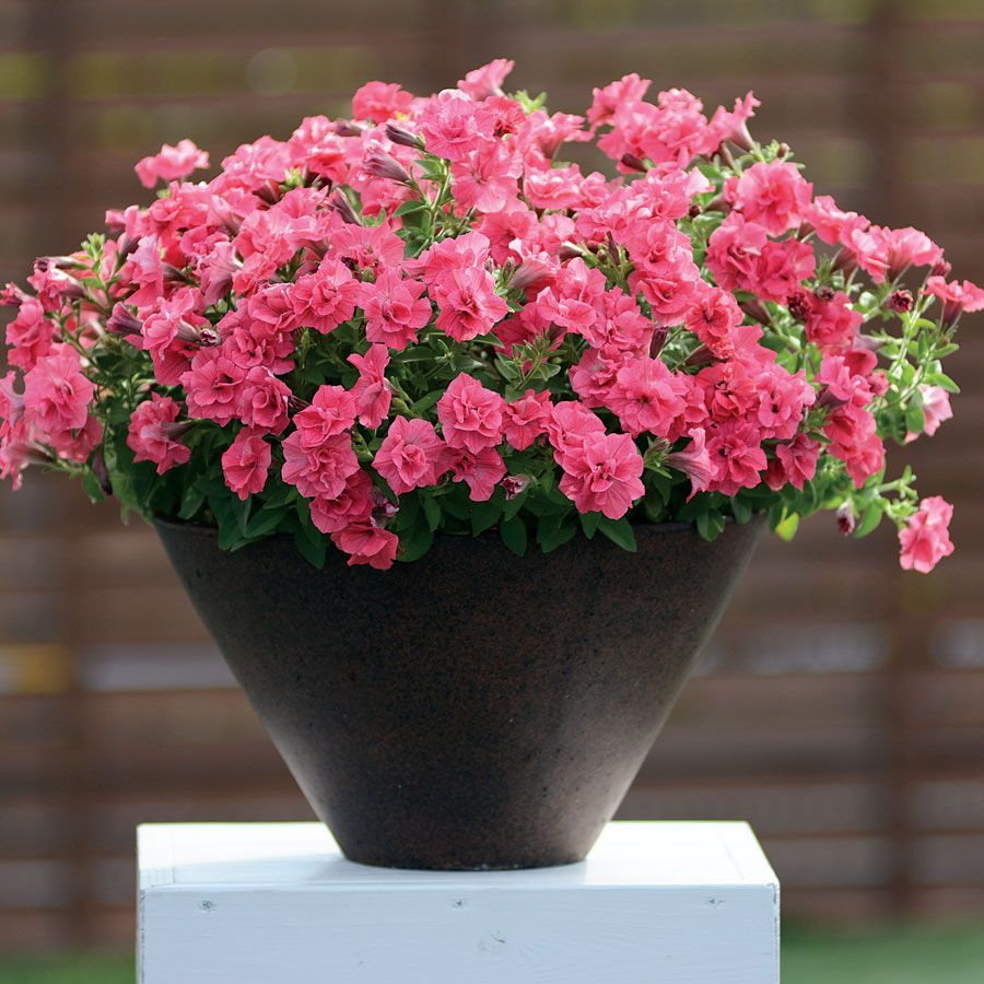 Surfinia Summer Double Salmon Petunia Plants From Park Seed