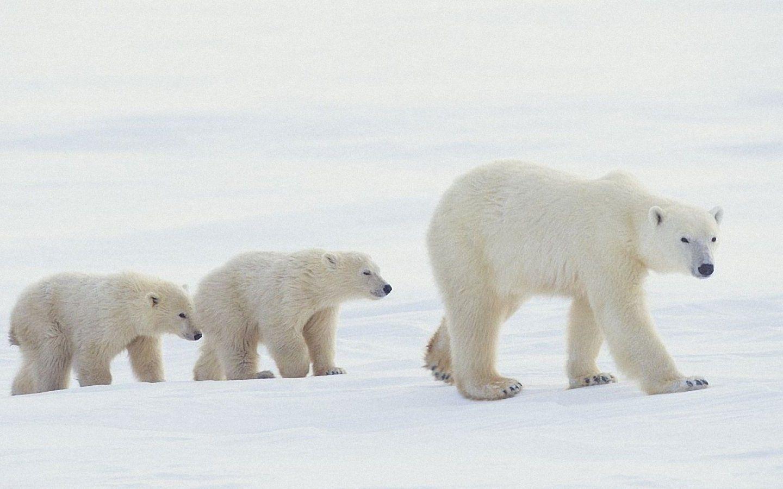 Polar Bear Wallpapers HD Quality Polar Bear Images Polar