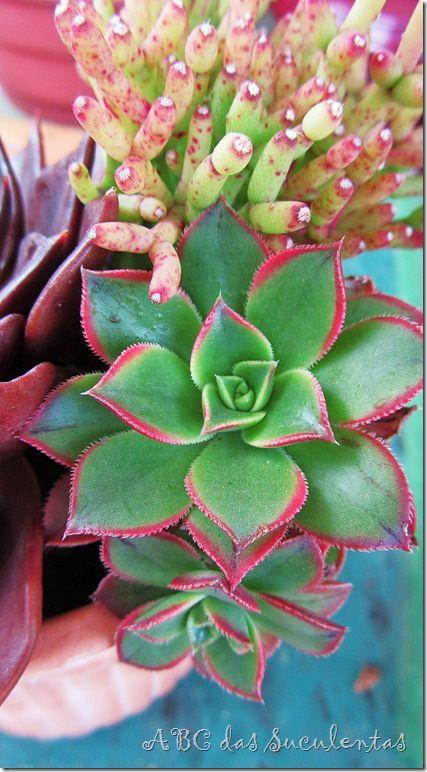 Succulents   plantas   Pinterest   Suculentas, Cactus y Plantas