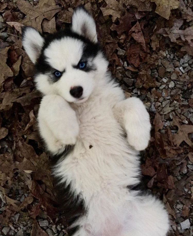 Pin By Des On Huskies And Wolves Husky Siberian Husky