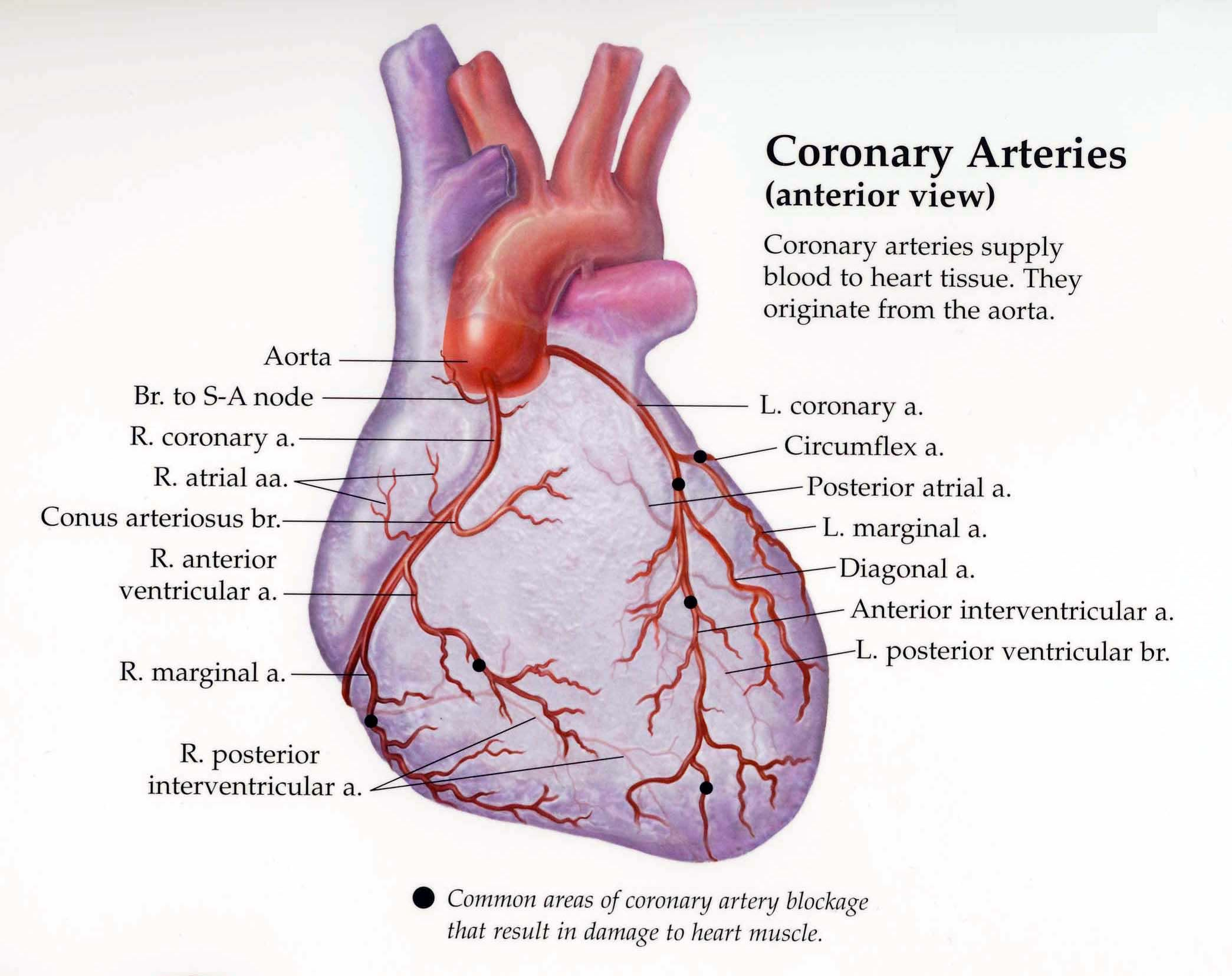 Picture of the coronary arteries google search nurse stuff picture of the coronary arteries google search pooptronica Images